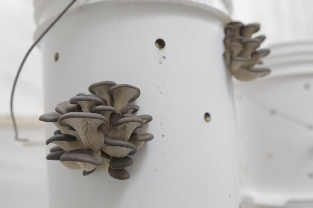agriculture-urbaine-durable-locale-proximite-culture-de-champignon-pleurotes-blanc-de-gris-montreal-2