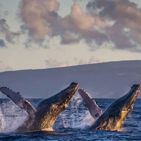 observer-les-baleines-a-maui-hawaii